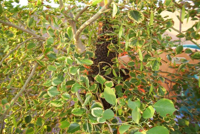 2009-07-22-bee-swarm-in-our-backyard-tree-4.JPG